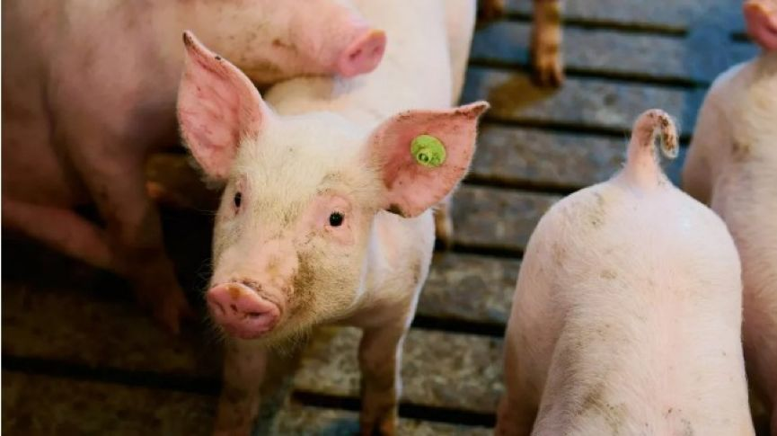 互联网巨头相逢养猪场